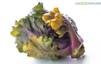 Kalerosse – zdrowie natalerzu